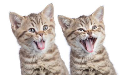 Two funny happy young cats portrait isolated