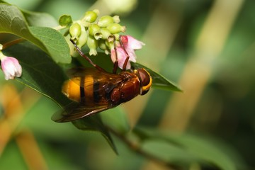 Hornet mimic hoverfly (volucella zonaria). Harmless insect camouflaged by looking as much more aggressive and dangerous species.