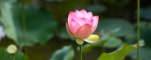 Wall Murals Lotus flower green symbol of elegance and grace with a beautiful pink lotus