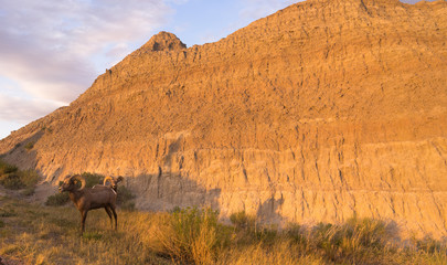Wild Animal High Desert Bighorn Sheep Male Pair Ram