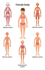 Female body. Human anatomy. Skeletal and muscular system, nervous and circulatory system, human digestive system