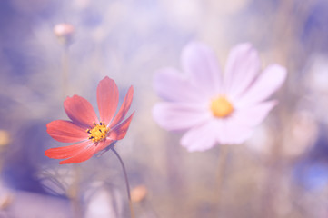 Multicolored flowers of the Cosmos in the sunlight.