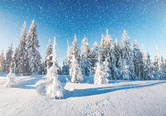Majestic winter trees glowing by sunlight. Location place Carpathian national park, Ukraine, Europe.
