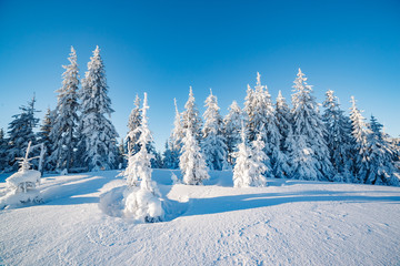 Majestic winter trees glowing by sunlight. Location place Carpathian national park, Ukraine, Europe.