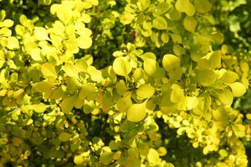 Berberis Thunbergii green carpet yellow foliage background