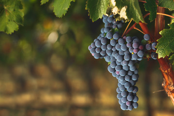 Ripe Cabernet grapes on vine growing in a vineyard at sunset time, selective focus, copy space