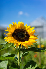 sunflower with bee and house in the background with blue sky