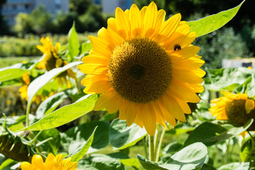 sunflowers in sunflower field with green leaves and plant