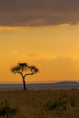 Acacia Tree in Masai Mara at Sunset