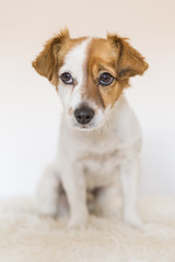close up portrait of a cute young small dog over white background looking at the camera.  Pets indoors.  Love for animals concept.