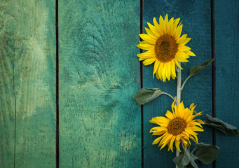 two bright yellow sunflower on the background of wooden old green painted walls in village in the summer