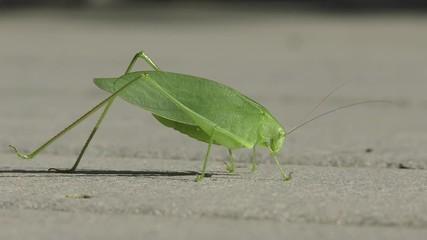 Fotoväggar - Close-up of a Katydid (Tettigoniidae) in late summer