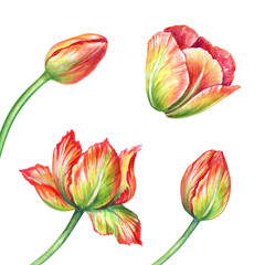 watercolor illustration, tulip, assorted red flower collection, floral design elements isolated on white background