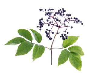 Sambucus nigra. Common names include elder, elderberry, black elder, European elder, European elderberry on white