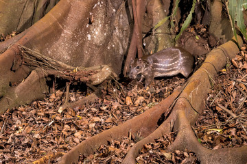 Paca (Cuniculus paca) | Lowland paca photographed in Linhares, Espírito Santo - Southeast of Brazil. Atlantic Forest Biome.
