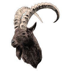 goat sketch vector graphics color picture head