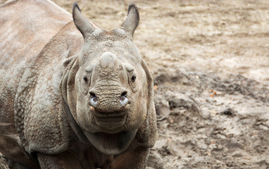 Beautiful Indian One Horned Rhinoceros. Curious and happy young rhino. Wildlife of India. Close up photo. Amazing portrait of a cute cub. Wild powerful animals in National Parks of India.