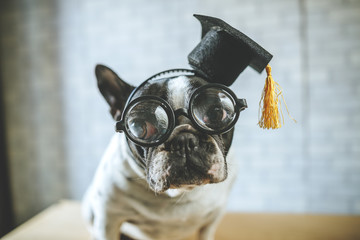 Portrait of dog with student cap