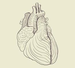Pensil drawing of human heart