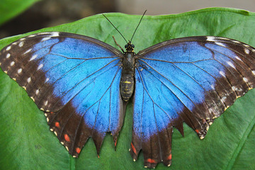 Big blue butterfly on green leaf, morpho peleides