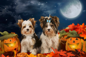 Two dogs terrier sitting in halloween decoration