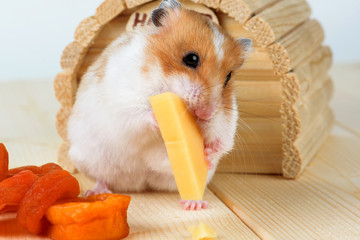 A hamster close-up eats cheese near its wooden house.