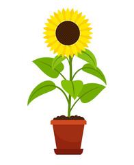 Sunflower plant in flower pot