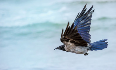 a crow flies at the sea shore