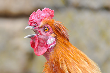 Beautiful rooster  with a red comb and a yellow beak. Isolated rooster portrait