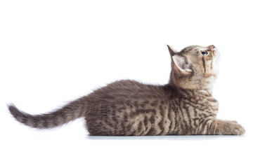 Tabby cat kitten lying and catching on white background, isolated