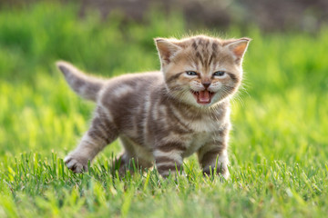 Papier Peint - Young cute cat meowing outdoor