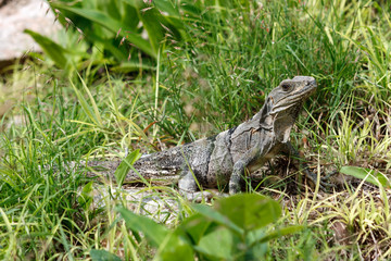 Iguana in the grass at the Uxmal archaeological site, Yucatan, Mexico.
