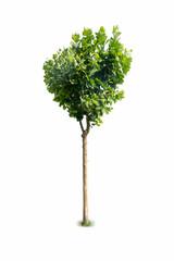 platanus tree isolated