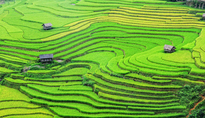 Printed roller blinds Rice fields Landscape of rice field in Vietnam.
