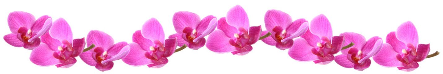 Lilac orchid in a row, isolated