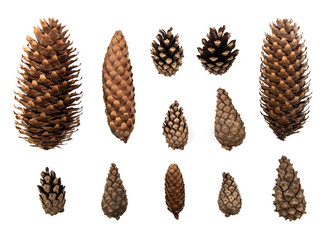 Forest cones isolated on white background