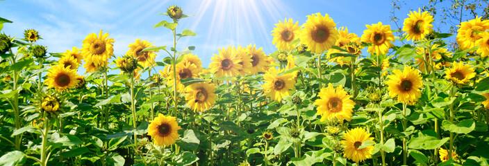 Grußkarte - Sonnenblumen Fotoväggar