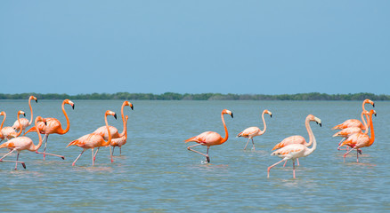 Pink flamingos walking in the lagoon.