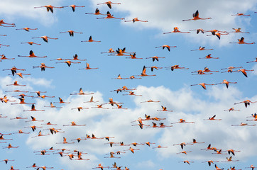 Pink flamingos flying over the lagoon.
