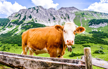 Fototapete - cows at the european alps
