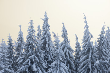 Wall Mural - Winter in the fir forest