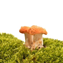 hydnum rufescens mushroom