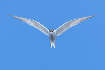 Common Tern hovering in flight against bright blue skies