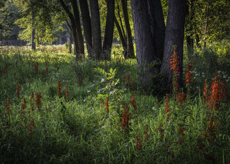 Garden Poster Brown Early morning sunlight streams into a woodland border where the crimson blooms of the cardinal flower stand tall above the prairie grasses. DuPage County, Illinois.