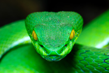 Front view Large-eyed Green Pitviper (Trimeresurus macrops)(focus on the eye shallow DOF) the endemic specie of Southeast Asia