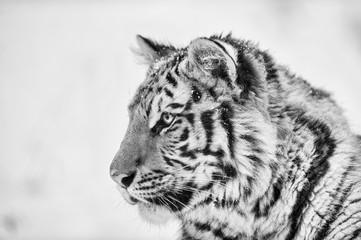 Tiger portrait in black and white