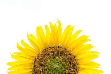 Sunflower close up white background