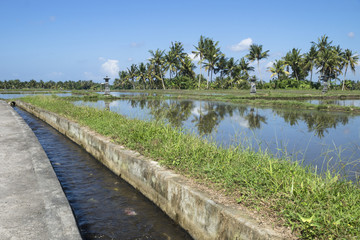 Flooded ricefield with canal and palmtrees in Ubud, Bali, Indonesia