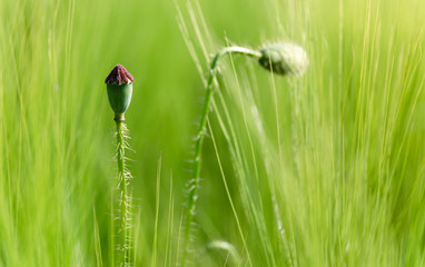 Poppy - Bud and Seed