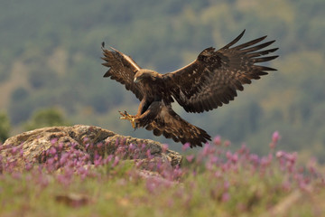 Photo sur Plexiglas Aigle Golden eagle fly
